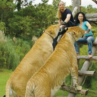 between ligers and tigons